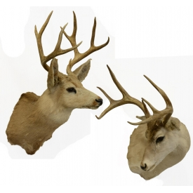 (2) TEXAS WHITETAIL DEER TAXIDERMY MOUNTS