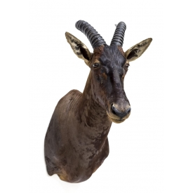 TOPI ANTELOPE TAXIDERMY MOUNT