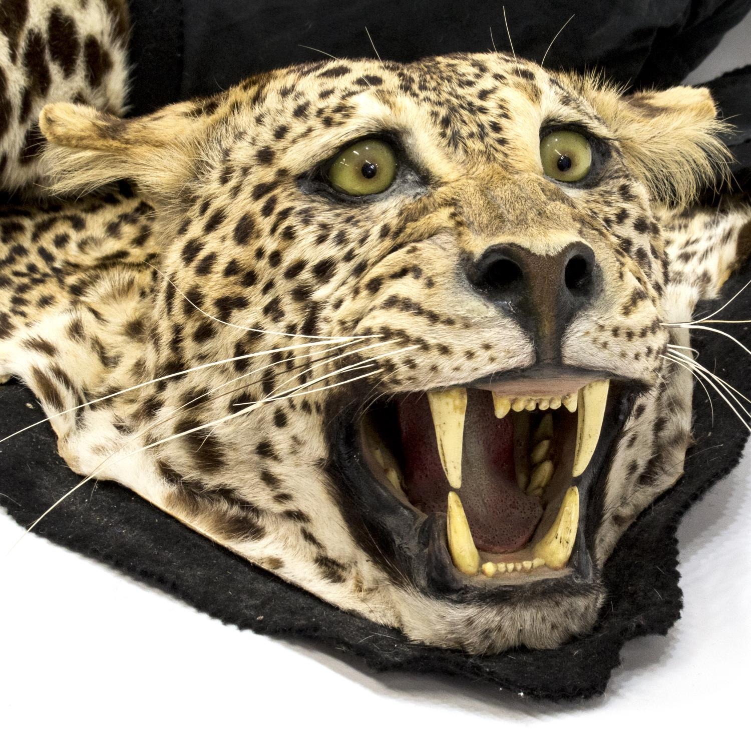 AFRICAN LEOPARD SKIN RUG, TEXAS BUYERS ONLY