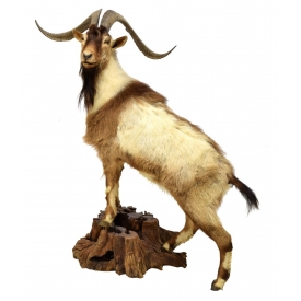 "FULL BODY GOAT TAXIDERMY MOUNT, 27"" HORNS"